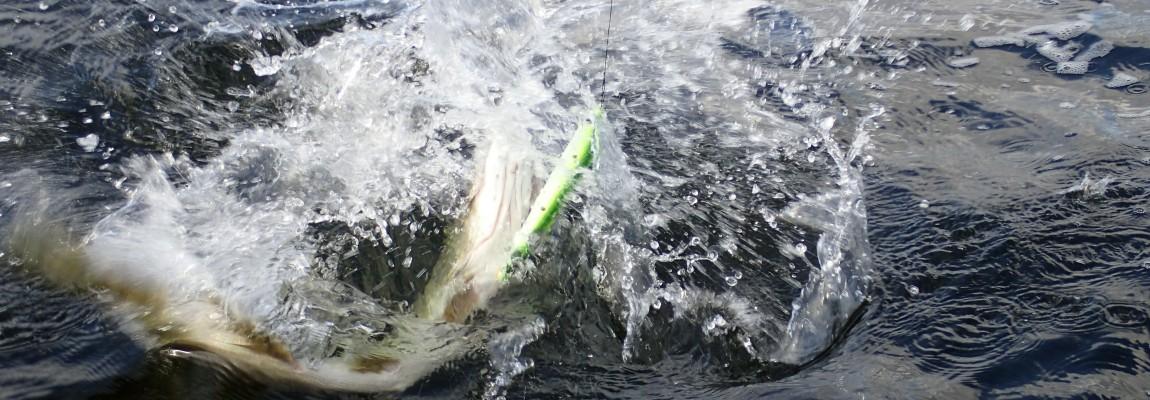 Geddefiskeri- Fussing sø