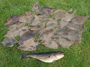 fladfisk, torsk, storebælt, fiskeri, girlfishing.dk