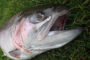 fiskeri regnbueørred munkbro put and take girlfishing.dk